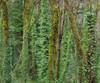 Mossy_trees